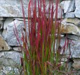 Imperata cylindrica Red Baron - lalang válcovitý