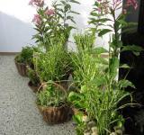 Vystavované trvalky z našeho zahradnictví