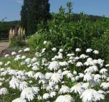 Kopretina Česká píseň vysázená v Botanické zahradě v Troji