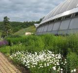 Naše kopretina Česká píseň vysázená před skleníkem Fata Morgana v Botanické zahradě