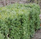 Stříhaný živý plot z buxusu (zimostrázu, krušpánku)