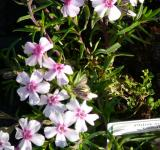 Phlox subulata Coral Eye