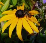 Rudbeckia fulgida Goldsturm - detail květu
