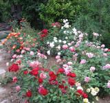 Pohled na skupinu růží