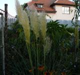 Cortaderia selloana Pumila - pampová tráva