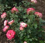 Růže Blumenstadt Tulln