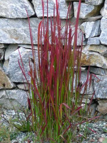 Imperata cylindrica Red Baron - lalang válcovitý