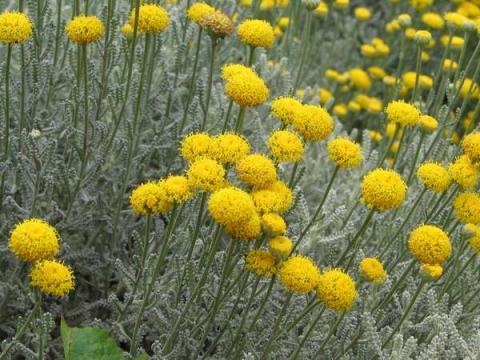 Santolina chamaecyparissus - svatolína cypřišovitá