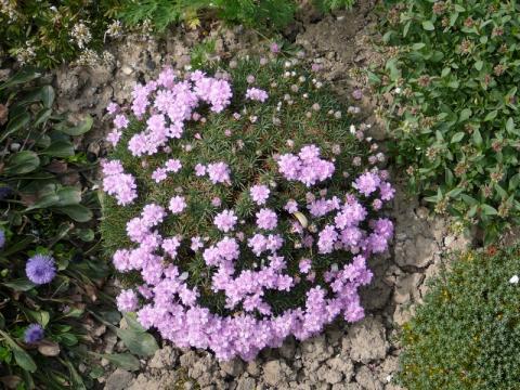 Armeria juniperifolia - trávnička