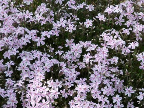 Phlox subulata Candy Stripes - plamenka šídlovitá