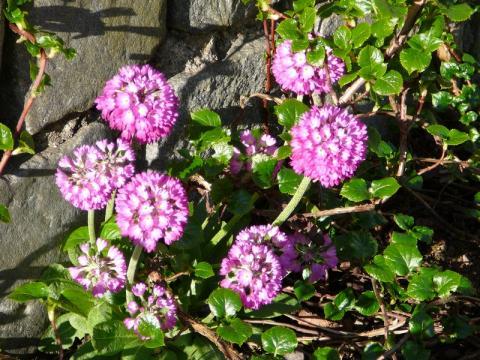 Primula denticulata Rubra - prvosenka zoubkatá