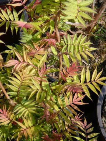 Sorbaria sorbifolia Sem - tavolníkovec jeřábolistý