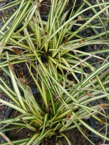 Carex hachioensis Evergold - ostřice
