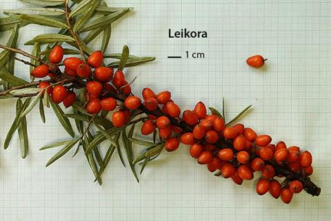 Rakytník řešetlákový - Leikora