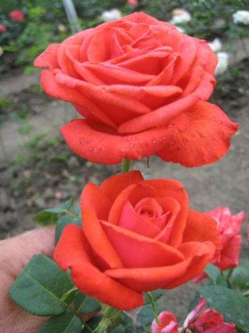 Růže Kamet