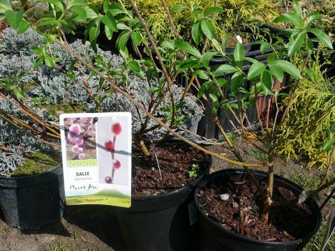 Salix gracilistyla Mount Aso - vrba