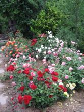 Pohled na výsadbu růží