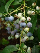 Vaccinium corymbosum - kanadská borůvka - plody