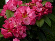 Rhododendron Morgen Rot