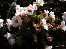 Saxifraga - lomikámen Semafor