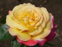 Růže Pullman Orient Expres