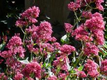 Centranthus ruber Coccineus -  mavuň červená